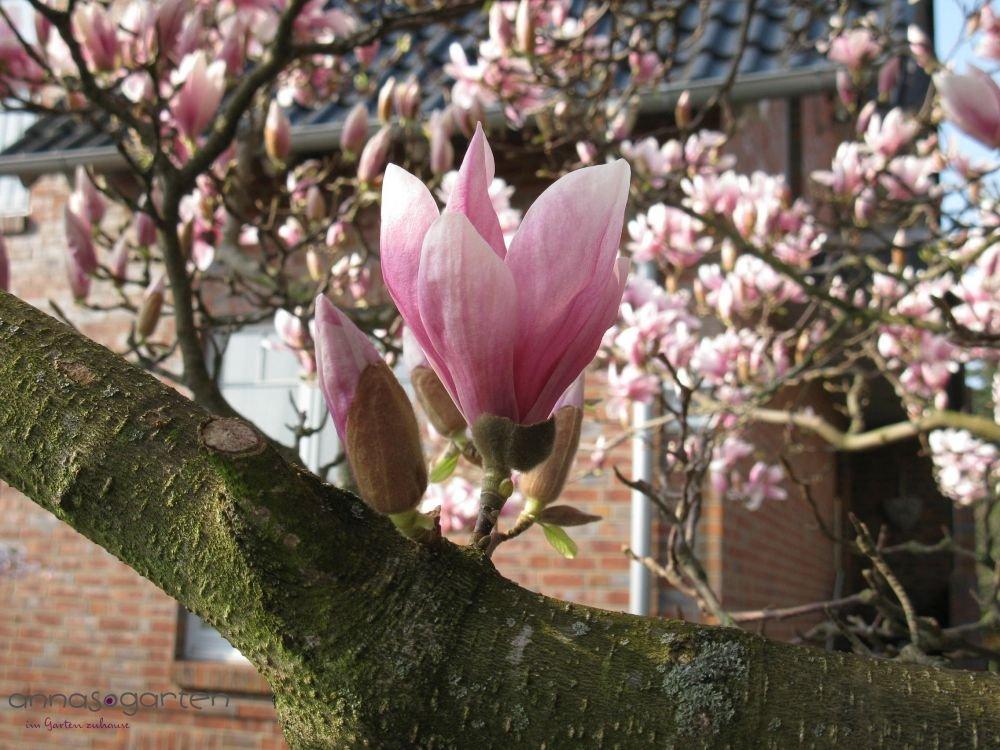 Tulpen-Magnolie Größe 15-L-Topf, 80-100 cm Pflanzenhöhe