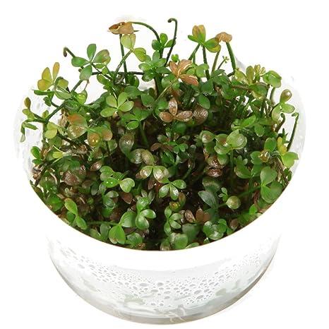Tropica Marsilea Hirsuta 1 – 2-grow Tissue Culture in vitro planta para Acuario Camarón