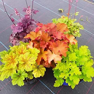 HOTUEEN 50pcs Rare Heuchera Coral Bells Seeds Flower Bonsai Plant Home Garden Flowers : Garden & Outdoor
