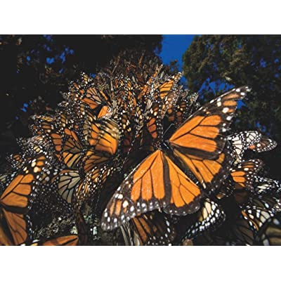 New York Puzzle Company - National Geographic Monarch Butterflies - 500 Piece Jigsaw Puzzle: Toys & Games