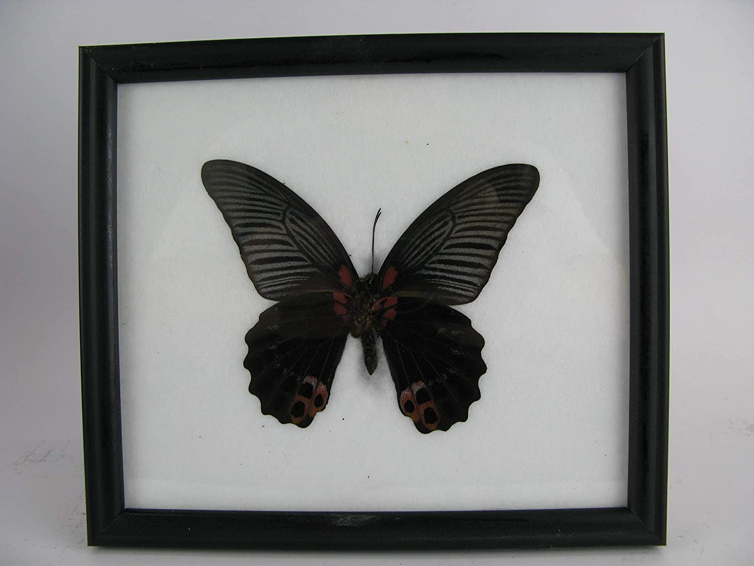 REAL GREAT MORMON BUTTERFLY RED BLACK PAPILIO MEMMON TAXIDERMY INSECT PICTURE