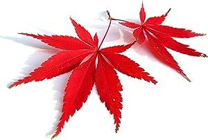 Red Lace Leaf Japanese Maple 60 Seeds - Acer Palmatum Atropurpureum Dissectum Seeds, Laceleaf Japanese Maple Tree Seeds, Japanese Tree Seeds for Planting
