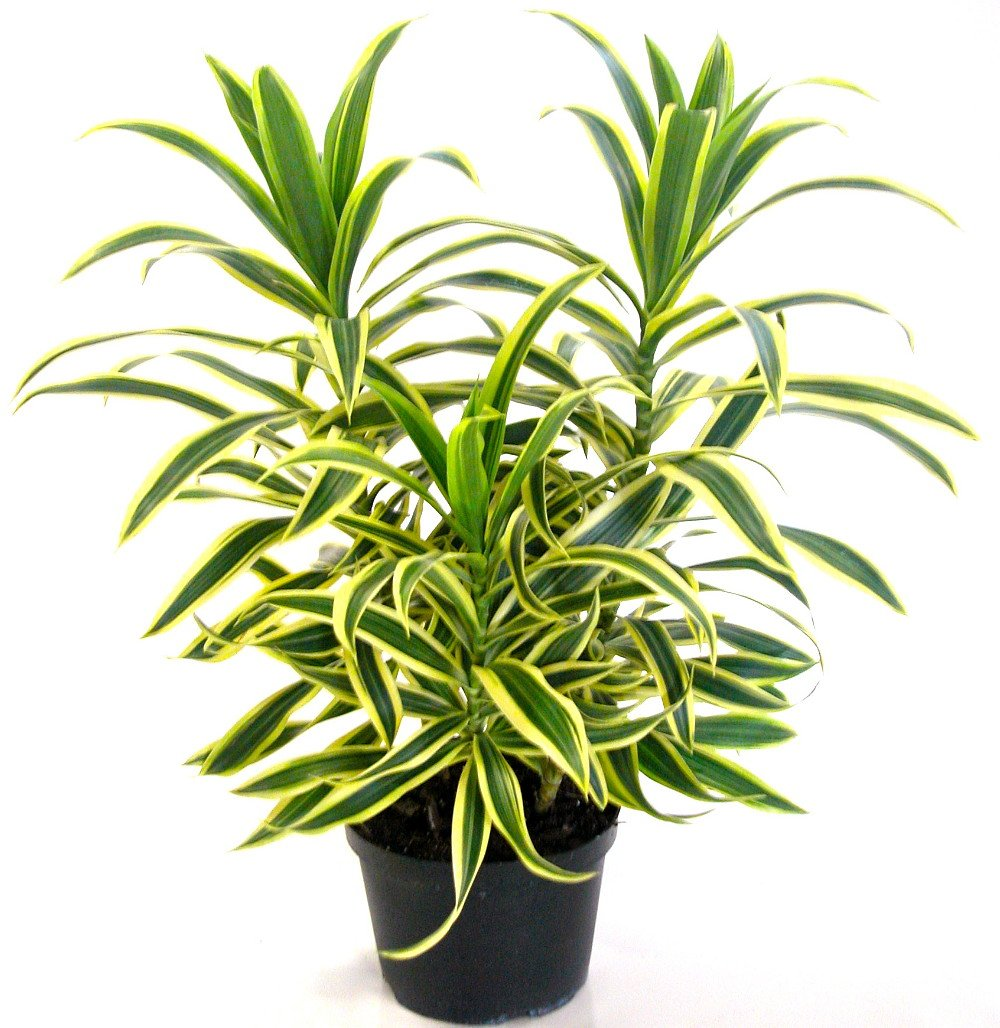 Song of India Dragon Tree - Pleomele - Dracaena -6'' Pot-Easy to Grow House Plant by Hirt's Gardens (Image #3)