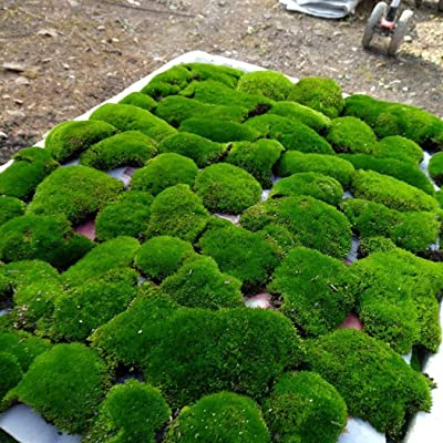 Feriay Seeds-100PCS Eternal Life DIY Mini Garden Micro Landscape Artificial Plant Moss Seeds Flowers: Clothing