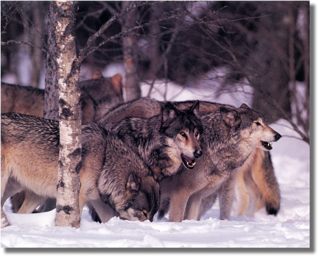 8x10 Gray Wolves in Pack Wildlife Animal Picture Wall Art Print