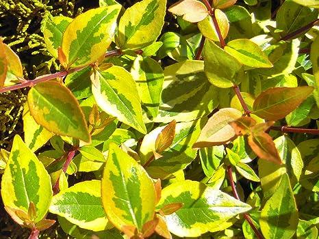 Amazoncom Kaleidoscope Abelia 3 Gal Garden Outdoor