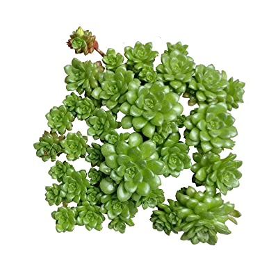 Sedum Cremnosedum Little Gem (4'' + Clay Pot) : Garden & Outdoor