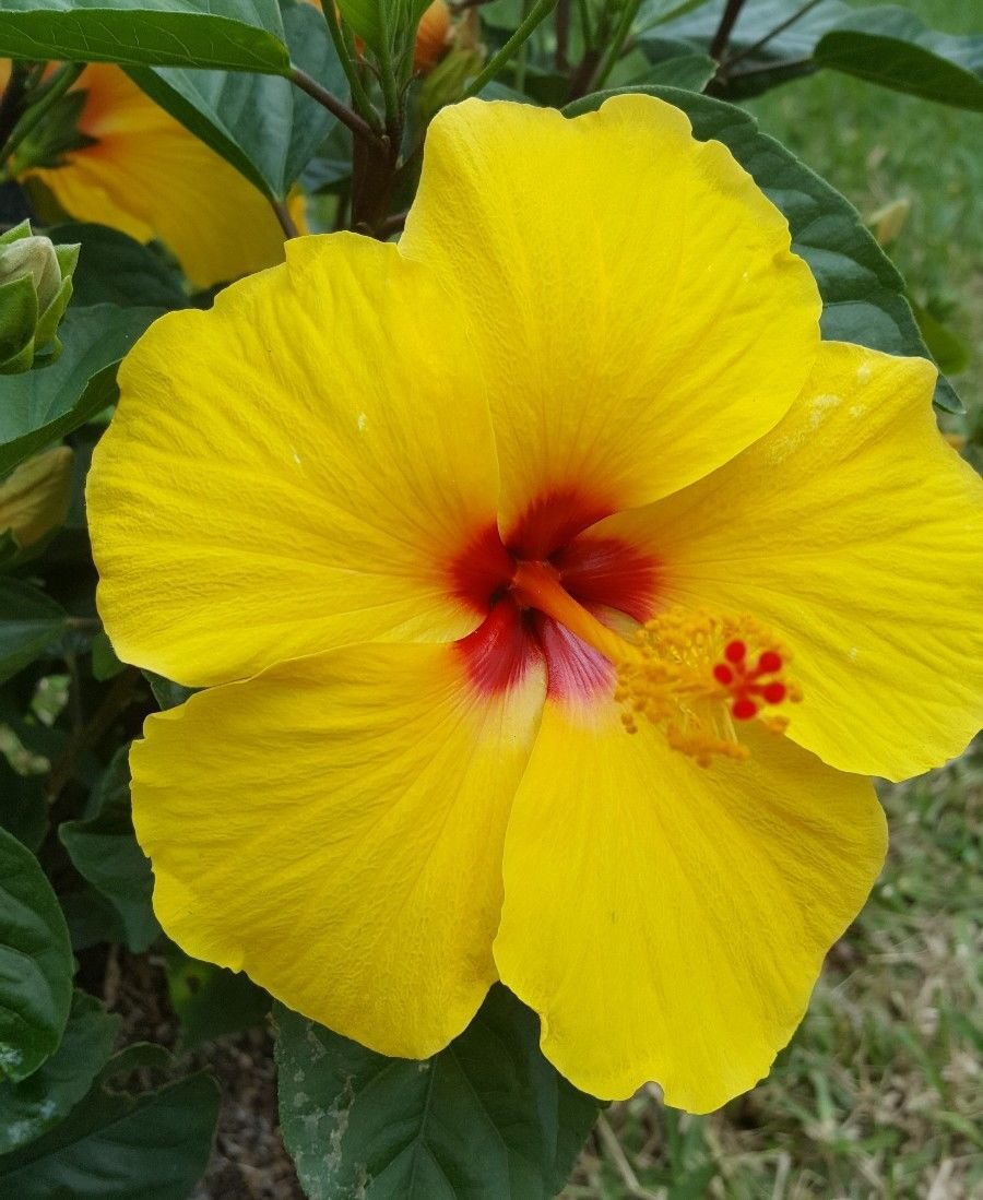 2 TROPICAL TEQUILA HIBISCUS WELL ROOTED LIVE STARTER PLANT 4'' TO 7'' TALL