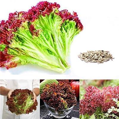 QiBest CANHOT Garden - 100pcs Buttercrunch Lettuce Seeds - Green Organic Seeds - Perennial Bonsai Lettuce Seeds Temperate Vegetable Seeds Flowers : Garden & Outdoor