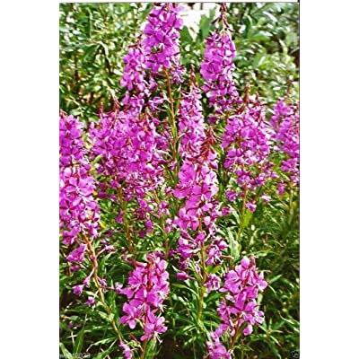 500 Fireweed Seeds, AKA Willow Herb, Rosebay Willowherb, and Yanagiran : Garden & Outdoor