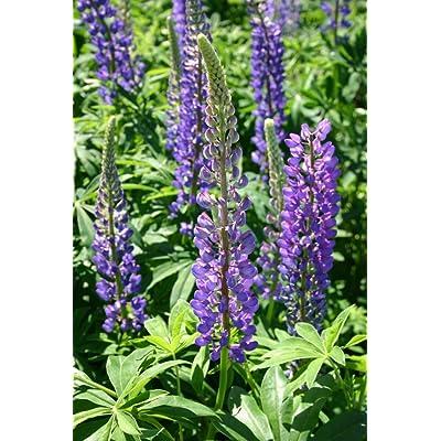 1/4 Pound of Lupine Perennial Blue (Seeds) : Garden & Outdoor