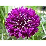 50 Magnificent Purple Cornflower Seeds - JDR Seeds