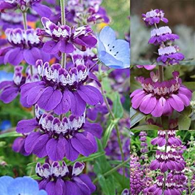 "Seed House-KOUYE Rarities 50 Pieces of sage Seeds Fragrance-Flower Seeds sage""Purple Rain"" Flowers Hardy Perennial Flower Seeds bee-Friendly for Balcony/Garden : Garden & Outdoor"