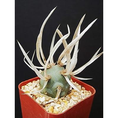 Tephrocactus Articulatus exotic rare cacti paper spines succulent cactus plant 2 : Garden & Outdoor