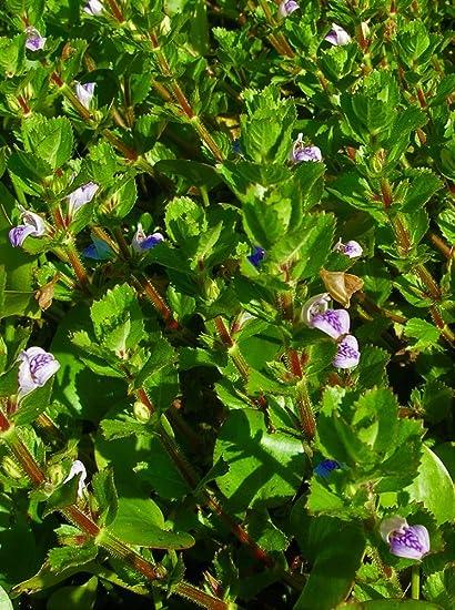 flowering water wisteria floating water garden koi pond aquatic plants - Water Garden Plants