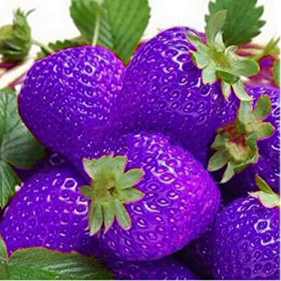 Oguine 100PCS Multicolored Giant Strawberry Seeds, Sweet Strawberry/Organic Garden Strawberry Heirloom Fruit Seeds for Home Garden Planting : Garden & Outdoor