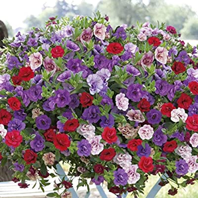Halffle Seedhouse- Hanging Petunia Seeds Morning Glory Seeds Bonsai Petunia Seeds Perennial Hardy for Garden Balcony : Garden & Outdoor