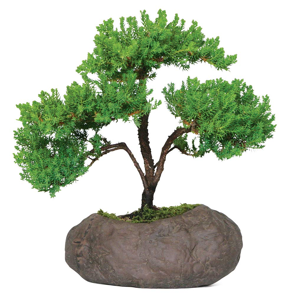 Brussel's Bonsai Live Green Mound Juniper Outdoor Bonsai Tree in Rock Pot-5 Years Old; 6'' to 10'' Tall