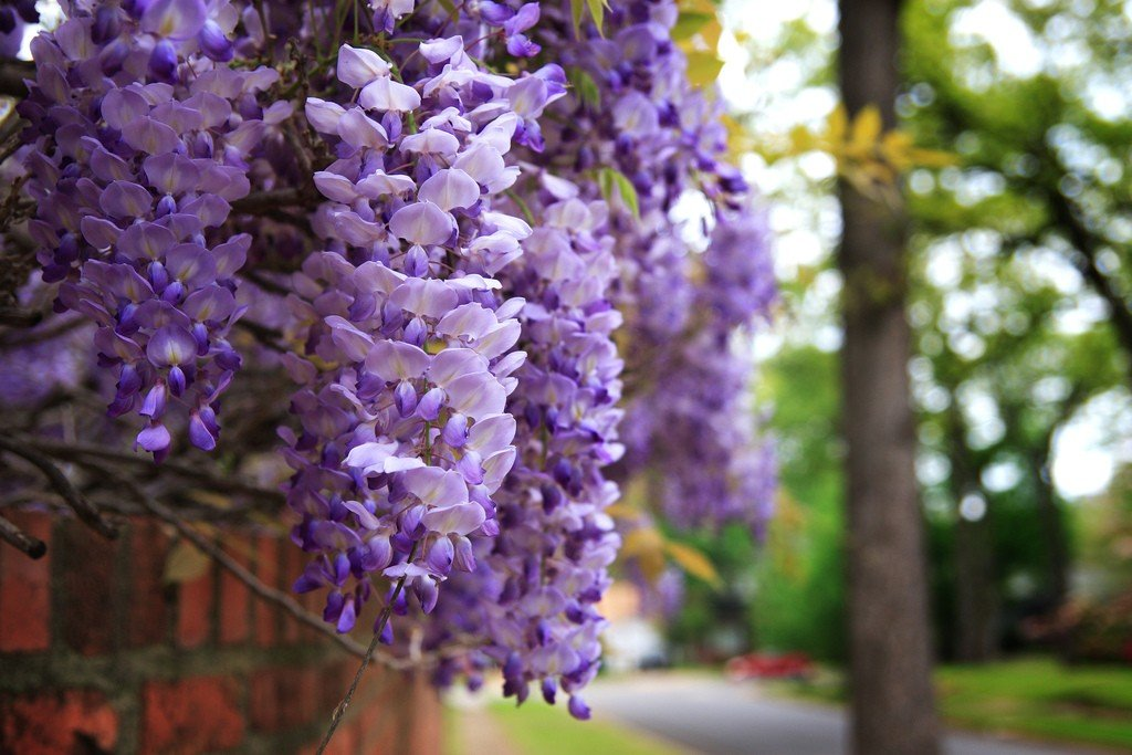 Blue Moon Wisteria > Wisteria macrostachya 'Blue Moon' >Landscape Ready 3 Gallon Container
