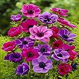 Kronenanemone–20blumenzwiebeln