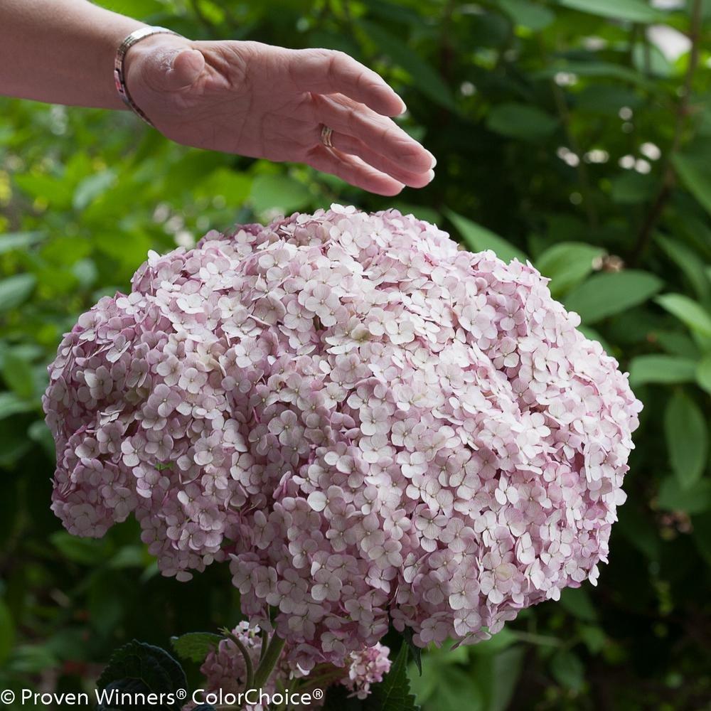 Proven Winners 4.5 in. qt. Incrediball Blush Smooth Hydrangea, Live Shrub, Light Pink Flowers
