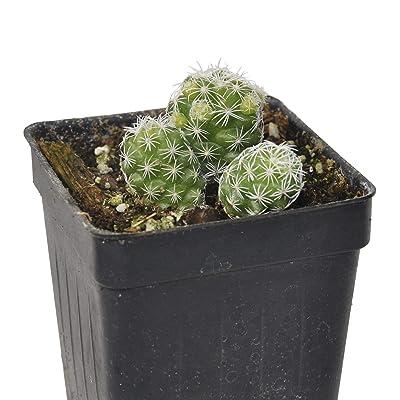 Mammillaria gracilis fragilis, Thimble Cactus : Garden & Outdoor