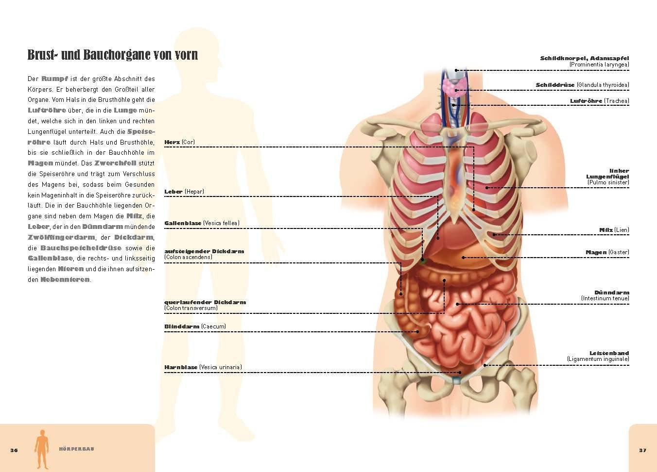 KöRper Anatomie Organe RL91 | Messianica