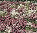 "Saxifraga Mossy Seeds ""Species Mix"" Pink/rose,white,purple Evergreen Groundcover"