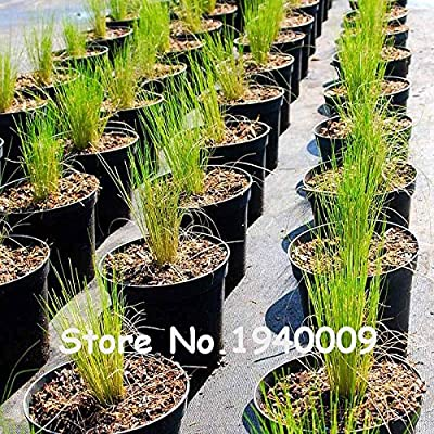 100pcs / Bag 13 colors Mexican Feather Grass Stipa Gorgeous Hardy Ornamental Grass Pampas Needle Grass Flower Pots Planters SEEDS ONLY