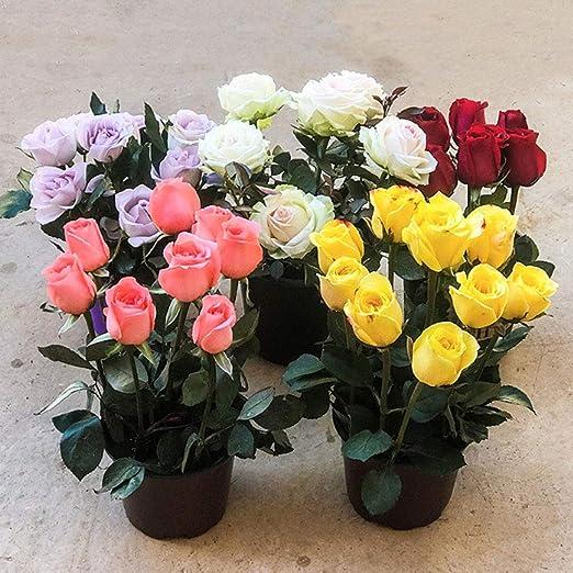 100pcs Semillas Rosas Ornamentales, Flores Románticas para Decorar ...