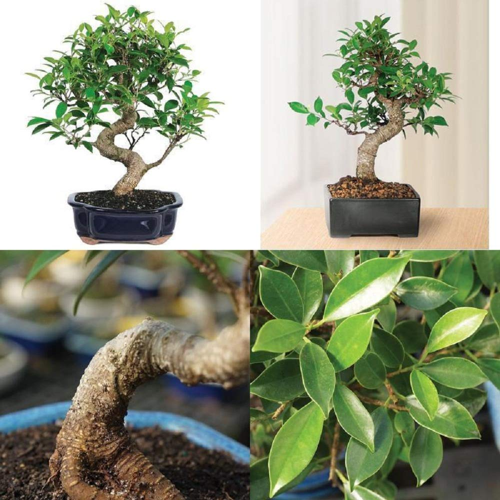Bonsai Golden Gate Ficus Tree Foliage Plant 7 Years Tropical Indoor Houseplant A6