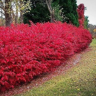 CORKED BURNING BUSH Euonymus alatus EVERGREEN seeds : Garden & Outdoor