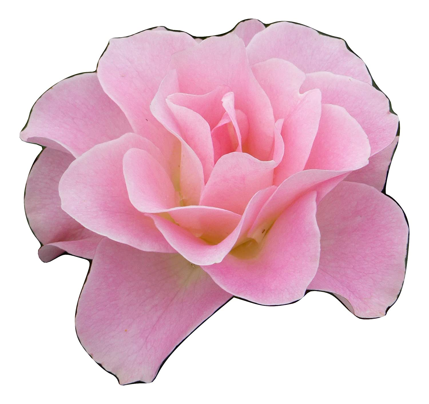 ROSE JENNY'S ROSE-Superb Personalised Plant & Flower Gifts For Birthdays & All Occasions Giftaplant Ref: ROSJROS9