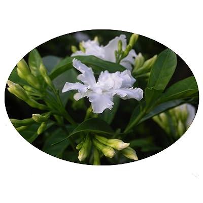 Florida Gardenia Crepe Crape Jasmine Live Semi-Tropical Plant Tabernaemontana Divaricata Flore Pleno 4 Inch Pot Emerald TM : Garden & Outdoor