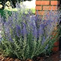 Park Seed Blue Steel Russian Sage Seeds