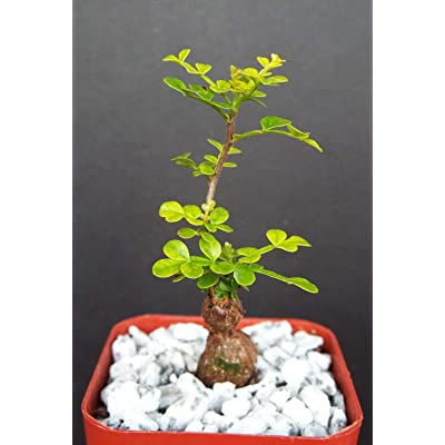 "Toyensnow - Operculicarya decaryi Exotic Rare Madagascar Natural Bonsai Plant Caudex (2"" Pot): Garden & Outdoor"