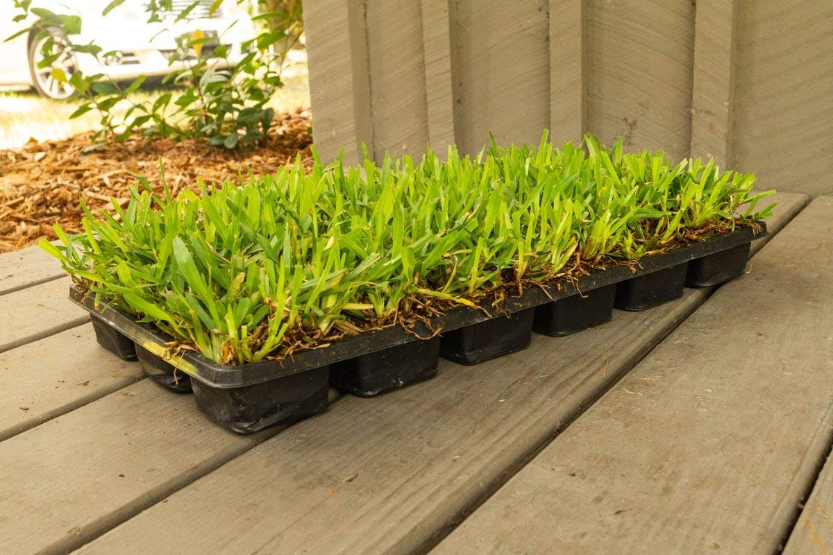 St. Augustine 'Palmetto' 3 Inch Sod Plugs - 18 Plugs - Drought, Salt, Shade, Cold, Heat & Frost Tolerant Turf Grass by Florida Foliage (Image #4)