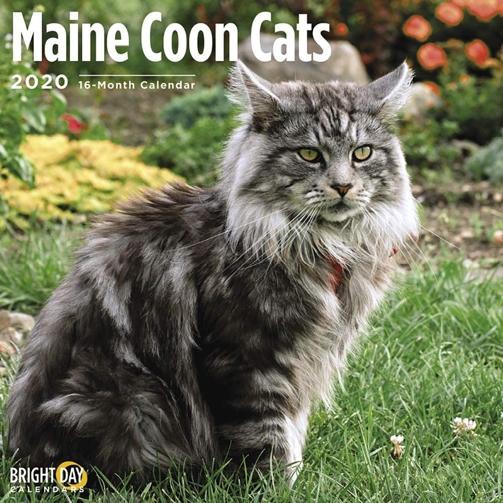 2020 Maine Coon Cats Wall Calendar by Bright Day, 16 Month 12 x 12 Inch, Cute Kitten Animals Kitty Fluffy Adorable Feline
