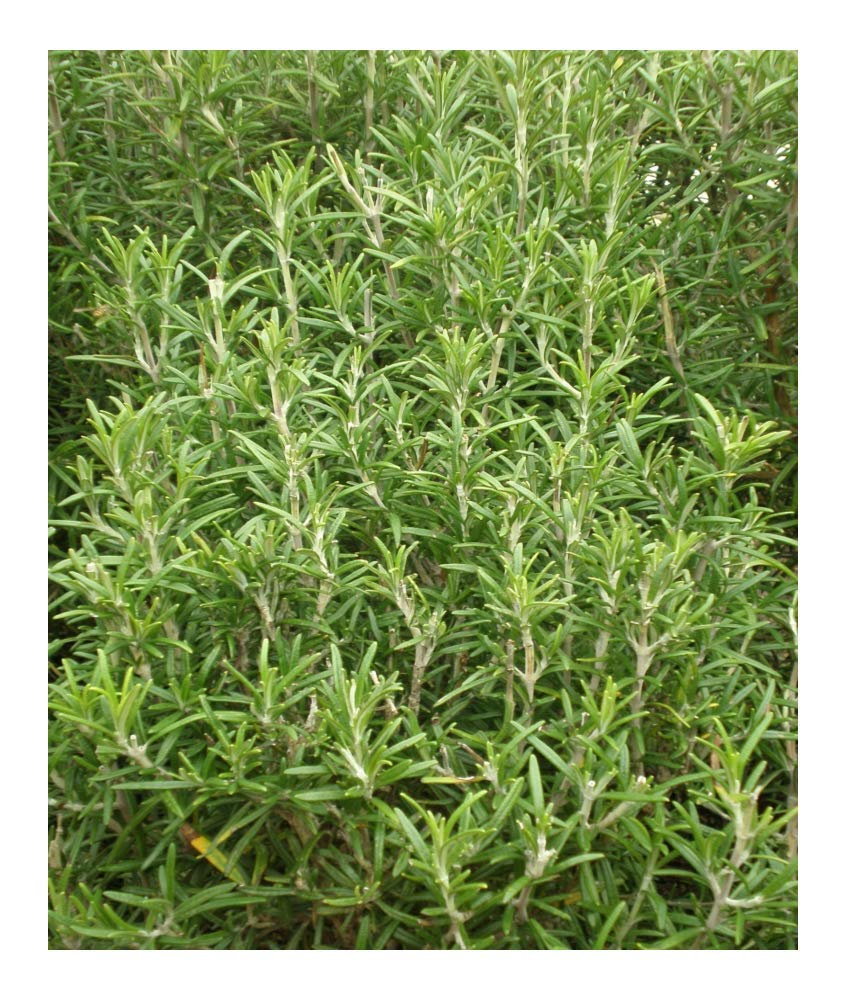 HERB ROSEMARY (ROSEMARINUS OFFICINALIS) 250 SEEDS Premier Seeds Direct HRB26