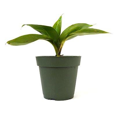 """9Greenbox - Dwarf Banana Plant - 4"""" Pot : Live Indoor House Plants : Garden & Outdoor"""