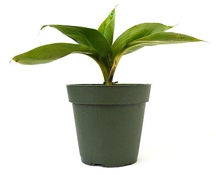 Amazon.com : 9Greenbox - Dwarf Banana Plant - 4\