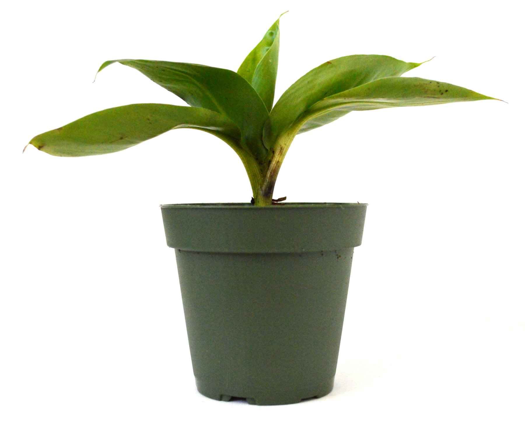 9Greenbox - Dwarf Banana Plant - 4'' Pot
