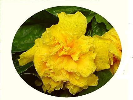 Amazoncom Delite Double Yellow Flower Tropical Hibiscus Live Plant