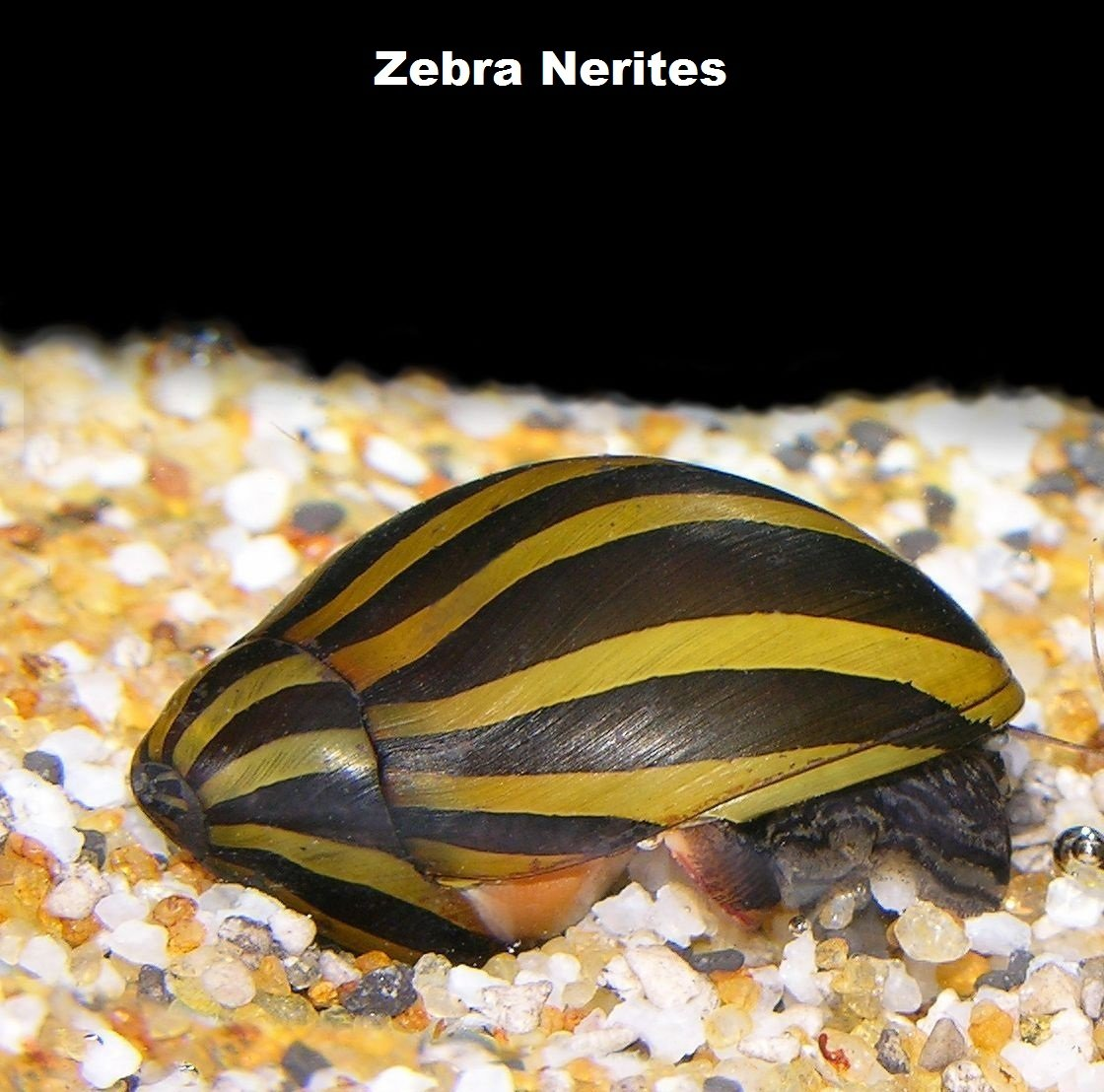 Live Freshwater Aquarium Fish - (12) Varied Nerite Snails - 12 Pack of Mixed Nerites(Zebra, Red Spotted, Horned) - by WorldwideTropicals - Populate Your Fish Tank!