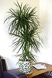Plante d'intérieur - Plante pour la maison ou le bureau - Dracaena marginata - Dragonnier de Madagascar, hauteur 1,2m