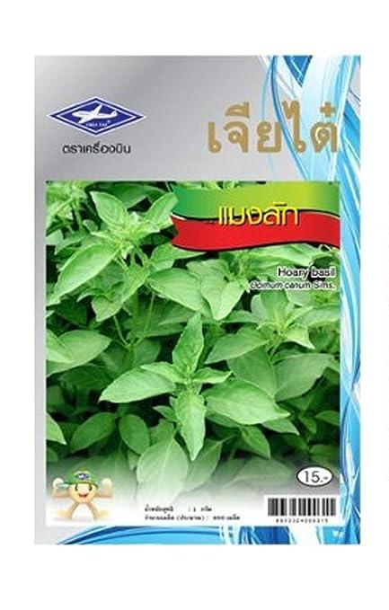 Amazon.com: Hairy albahaca Semillas Thai Hoary albahaca ...