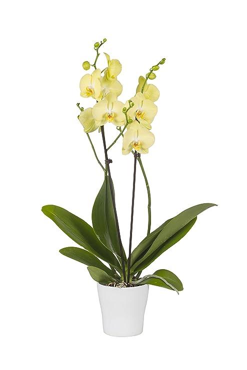 Pianta Vera Da Interno Orchidea Phalaenopsis Gialla Van Gogh Con
