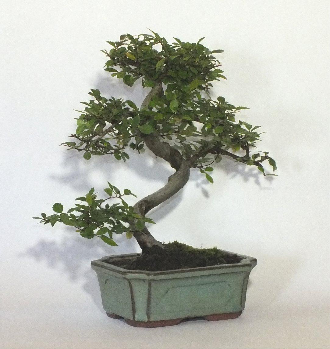 bonsai tree chinese elm