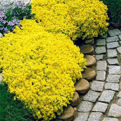 Oliote Premium Flower Viewing Plant Edible Vanilla Thyme Seeds Flowers : Garden & Outdoor