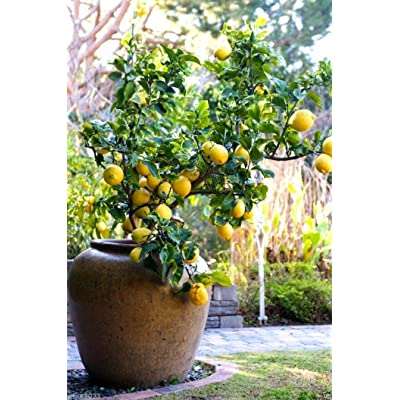 Organic Lemon (10 Lemon Tree Seed) Can grow indoor or outdoor : Garden & Outdoor